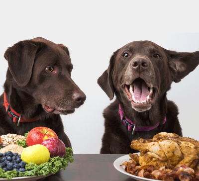 Two black Labs looking at fruit or a chicken.