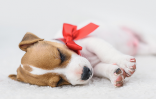 puppies are not presents | photo of a puppy with a red bow on neck