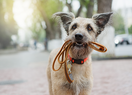 photo of cute mixed-breed dog with leash in his mouth
