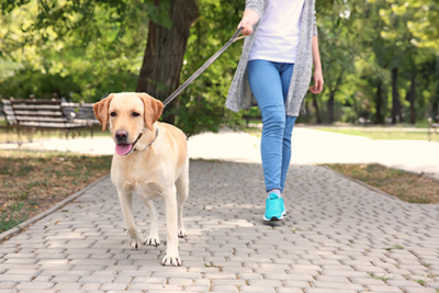 the benefits of walking your dog | photo of girl walking a yellow lab