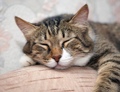 Significant Health Problems of the Senior Feline