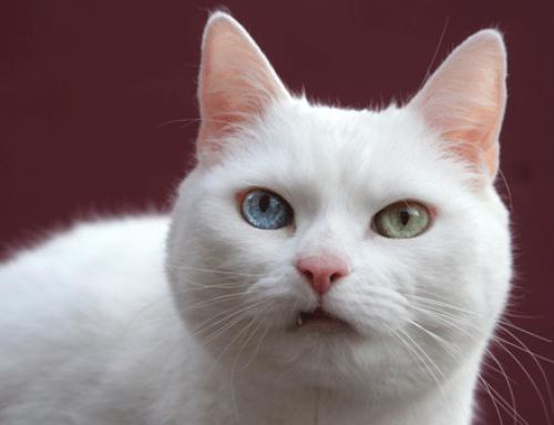 Feline Dental Care