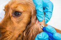 Lyme Disease transmitted through pets