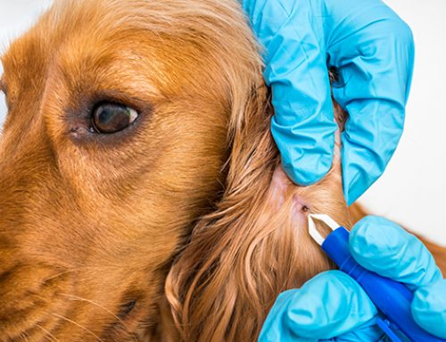 Lyme Disease Transmitted by Pets